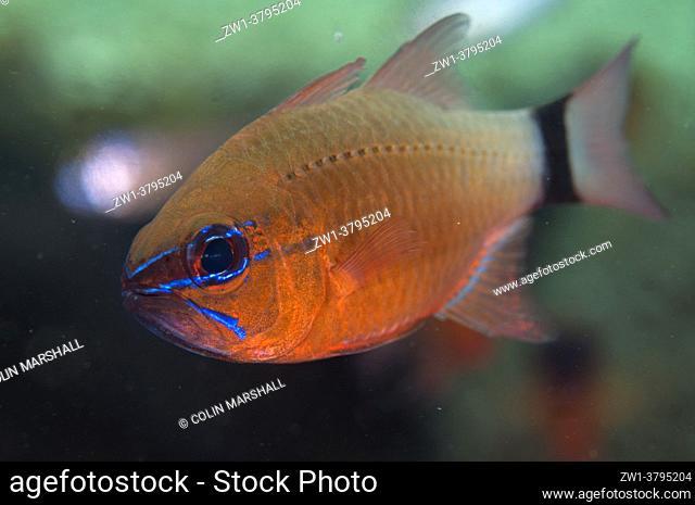 Ringtailed Cardinalfish (Ostorhinchus aureus), Coral Garden dive site, Seraya, Karangasem, Bali, Indonesia