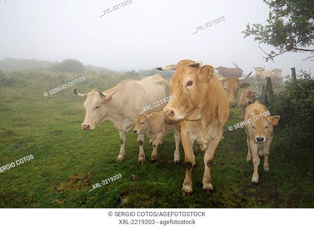 Cows and calves in the fog, Basque Country, Spain