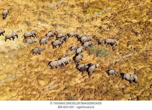 African Elephants (Loxodonta africana), breeding herd, roaming, aerial view, Okavango Delta, Moremi Game Reserve, Botswana