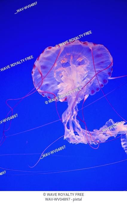 Purple-Striped Jellyfish chrysaora colorata, Monterey Bay, Aquarium, California