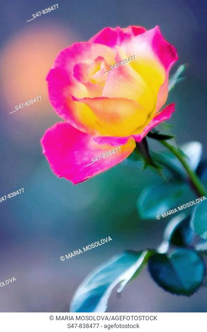 Pink and Yellow Rose Flower, Rosa hybrid