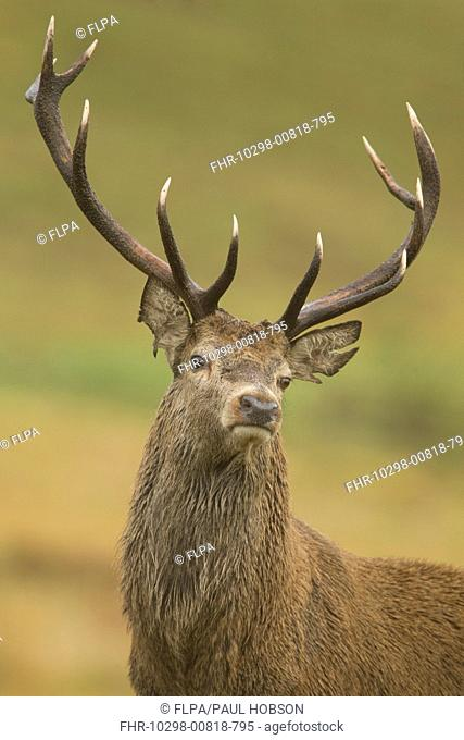 Red Deer Cervus elaphus stag, close-up of head and antlers, during rutting season, Bradgate Park, Leicestershire, England, november