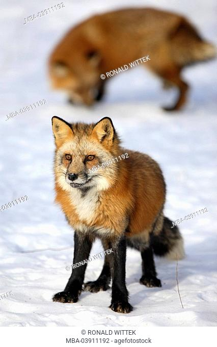 red foxes, Vulpes vulpes, full length portrait