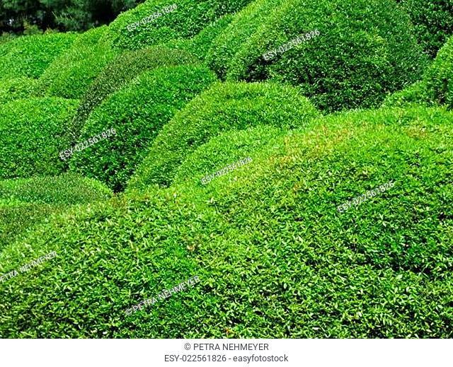 Buchsbaumkugeln - Buxus sempervirens