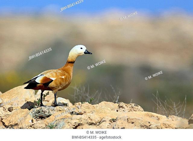 ruddy shelduck (Tadorna ferruginea, Casarca ferruginea), male standing in the semi-desert, Canary Islands, Fuerteventura