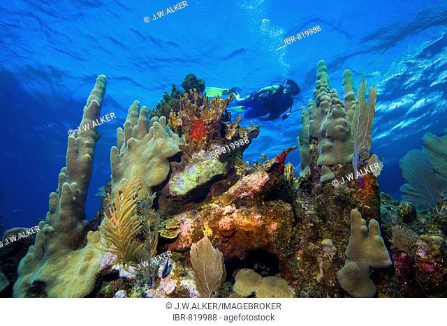 Scuba diver in shallow water, coral reef, Caribbean, Roatan, Honduras, Central America