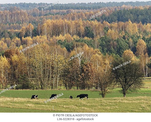 Poland. Autumn landscape with cows