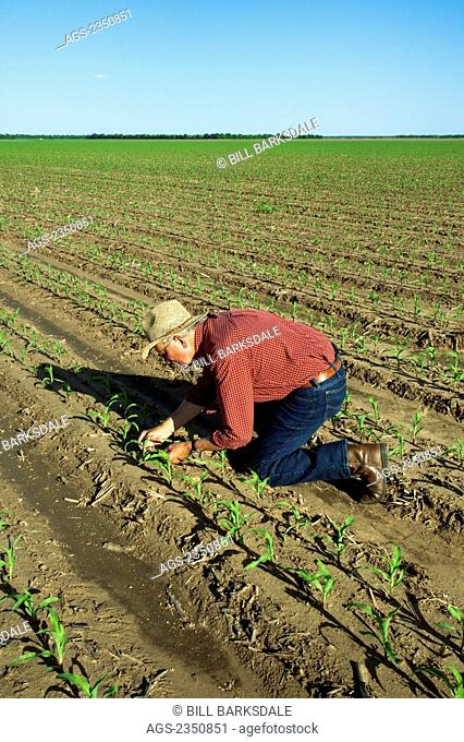 Agriculture - A farmer (grower) examines early growth grain corn plants at the four leaf stage. This crop was twin row planted