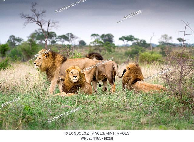 Male lions, Panthera leo, stand and lie together on green grass, looking away