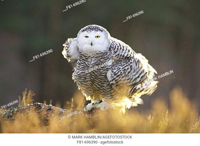 Snowy Owl Nyctea scandiaca female ruffling feathers, perched in late evening light  captive-bred bird
