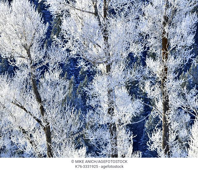 Winter, Cottonwood Trees and Hoar Frost