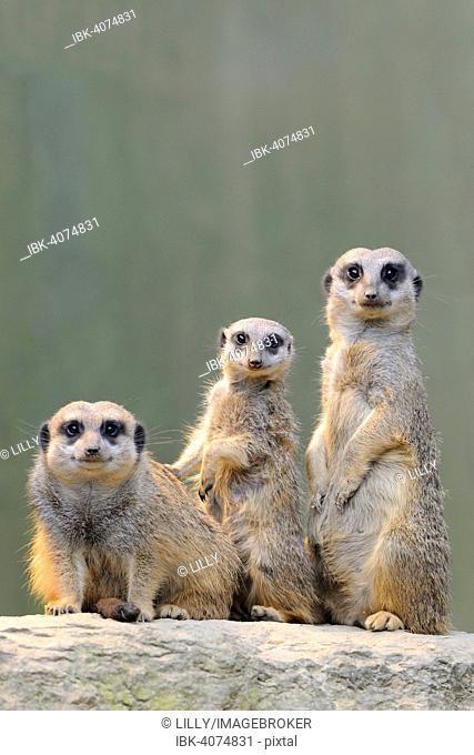 Meerkats (Suricata suricatta), native to Africa, captive, Baden-Württemberg, Germany