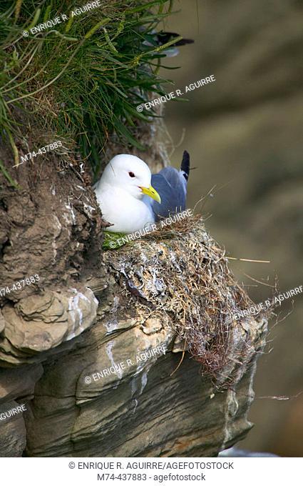 Nesting kittiwake on a cliff