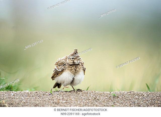 Crested lark (Galerida cristata), sitting on the ground, Bulgaria