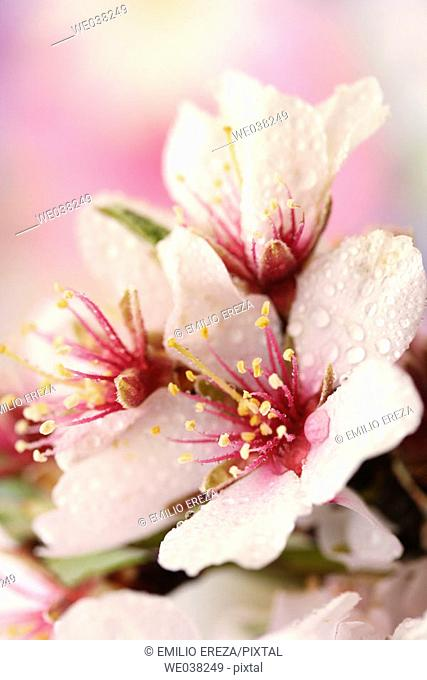 Water drops on Almond tree (Prunus dulcis) flowers