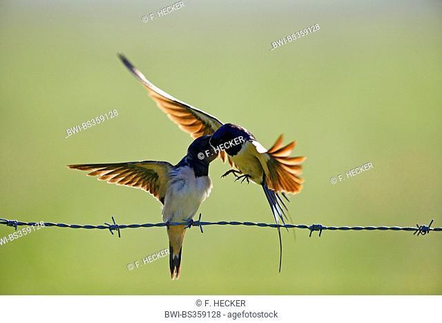 barn swallow (Hirundo rustica), adult bird in flight feeding a fledged young bird on a barbwire , Germany