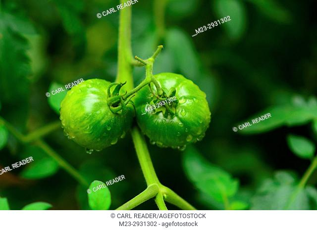 Green tomatoes in soft focus, Pennsylvania, USA