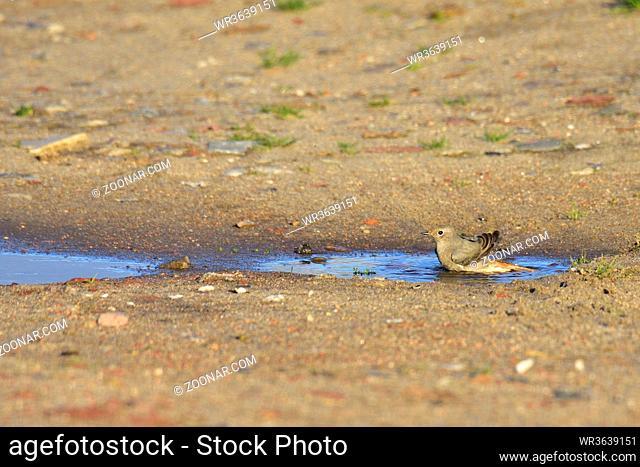 Hausrotschwanz in einer Pfütze. Black redstart in a puddle on the baltic sea
