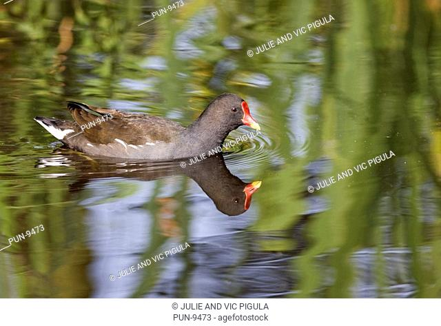 Moorhen Gallinula chloropus swimming on water