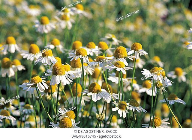 Botany - Compositae - Chamomile (Matricaria chamomilla)