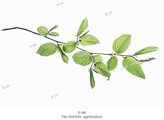 Twig with beech leaves