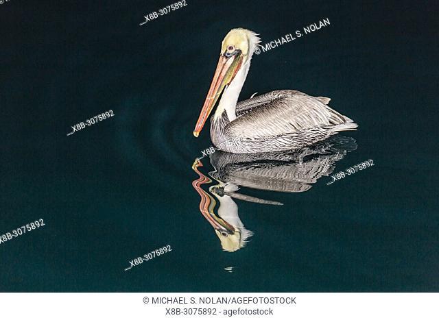 An adult brown pelican, Pelecanus occidentalis, at night near Isla Santa Catalina, BCS, Mexico