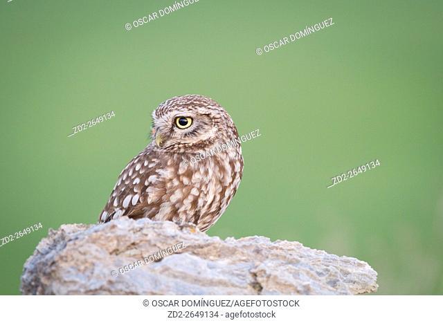 Little Owl (Athene noctua) perched on stones. Lleida province. Catalonia. Spain