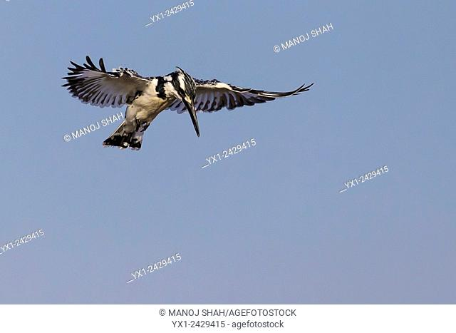 Pied Kimgfisher hovering over river water looking for prey. Masai Mara National Reserve, Kenya