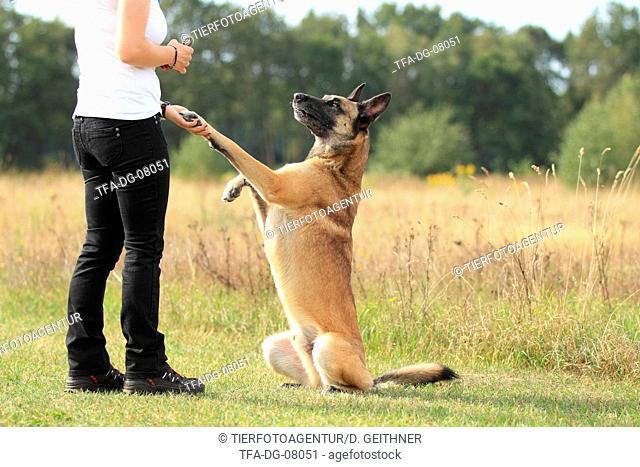 Malinois gives paw