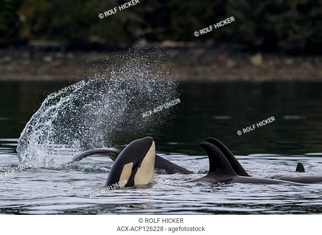 Family pod of northern resident killer whales (Orcinus orca) playing near the Broughton Archipelago, First Nations Territory, off Vancouver Island
