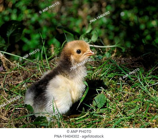 Fowl, Chicken Gallus gallus