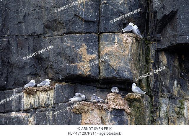 Black-legged kittiwakes (Rissa tridactyla) nesting on rock ledges in sea cliff face at seabird colony, Svalbard / Spitsbergen, Norway