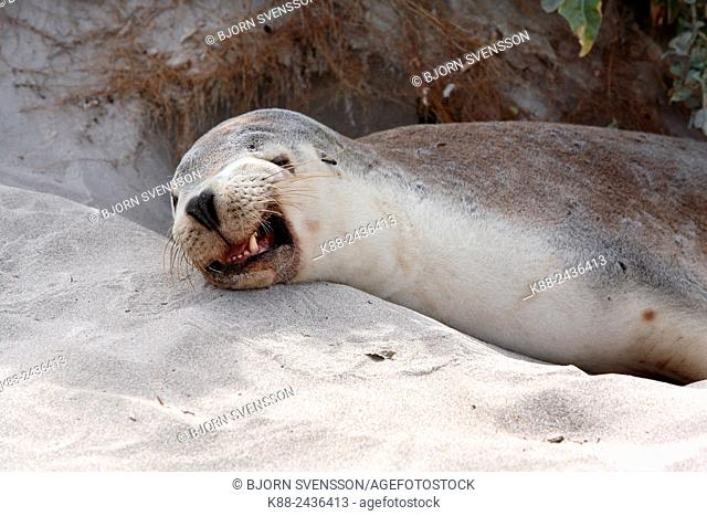 Australian Sea Lion (Neophoca cinerea). Seal Bay Conservation Park, Kangaroo Island, South Australia