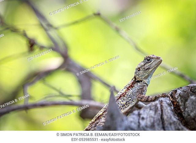 Southern tree agama on a branch in the Kruger National Park, South Africa
