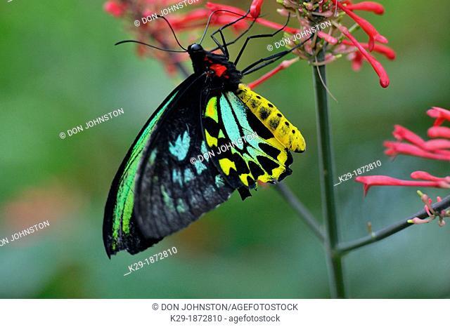 Cairns birdwing Ornithoptera priamus , Niagara Butterfly Conservatory, Niagara Falls, Ontario, Canada
