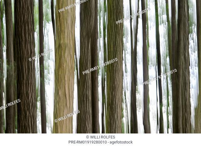 Blurred alders, alder forest, Vechta district, Oldenburg Münsterland, Lower Saxony, Germany / Verschwommene Erlen, Erlen-Bruchwald, Landkreis Vechta