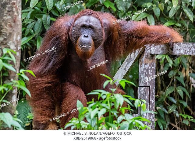 Young male Bornean orangutan, Pongo pygmaeus, Semenggoh Rehabilitation Center, Sarawak, Borneo, Malaysia