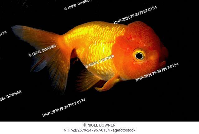 A Lionhead goldfish (Carassius auratus) swimming in an aquarium at the King's Lynn Koi Centre Norfolk