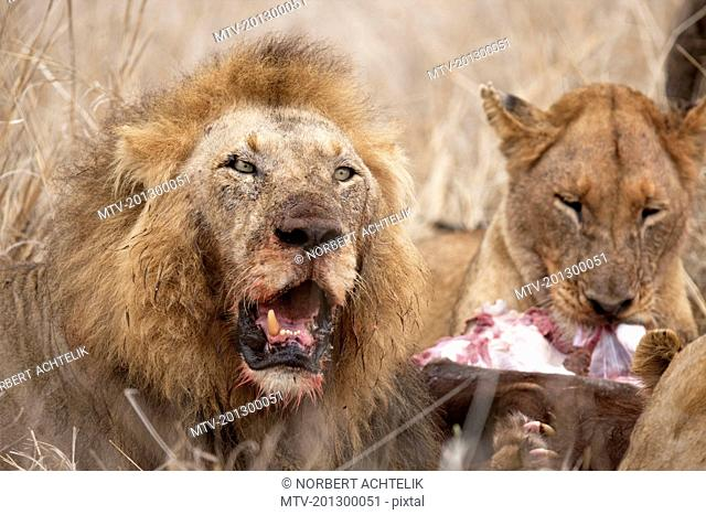 Lions (Panthera leo) eating its prey, Kruger National Park, South Africa