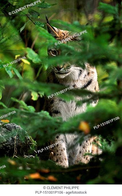 Eurasian lynx (Lynx lynx) stalking prey in dense forest
