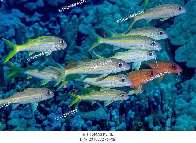 Yellowfin Goatfish (Mulloidichthys vanicolensis) schooled off the Kona coast; Kona, Island of Hawaii, Hawaii, United States of America
