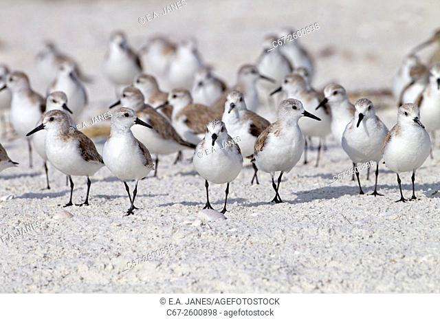 Sanderlings Calidris alba feeding March Fort Myers beach Gulf coast Florida USA