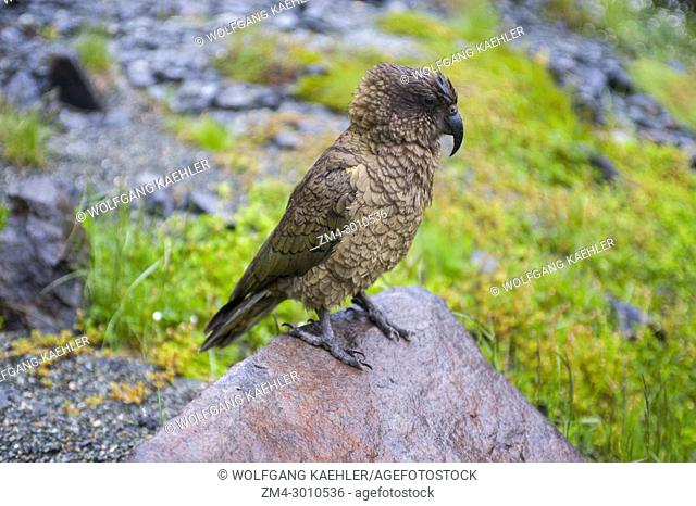 A Kea (Nestor notabilis), a large species of parrot found in forested and alpine regions, Fjordland National Park on the South Island in New Zealand