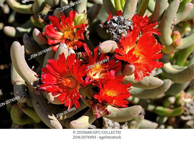 Malephora purpureo-crocea, Richtersveld Nationalpark, Südafrika / Malephora urpureo-crocea, Richtersveld Transfrontier National Park, South Africa