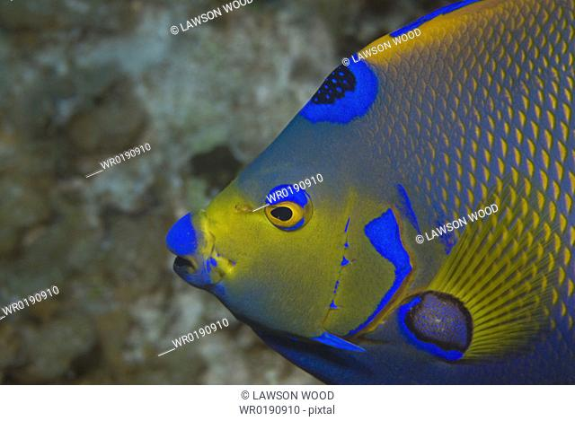Queen angelfish Holacanthus ciliaris, profile of head, showing brilliant colour markings, Cayman Islands, Caribbean