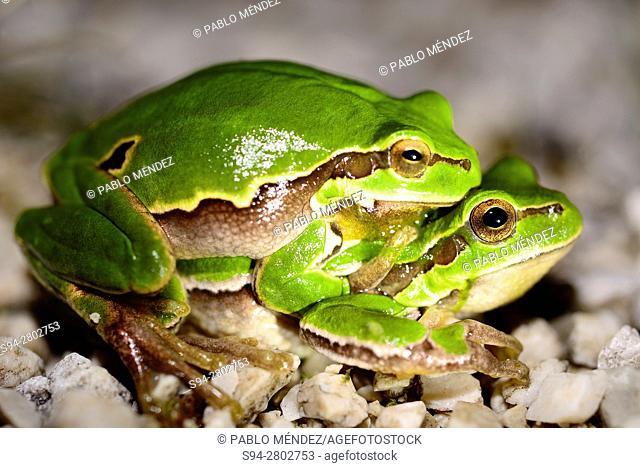 """European tree frogs """"""""Hyla arborea"""""""" in amplexus near Gornji Ceklin, Cetinje, Montenegro"""