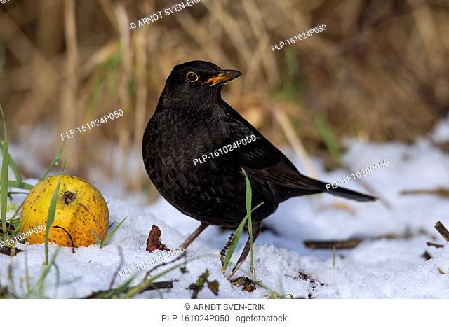 Common blackbird (Turdus merula) male eating from fallen apple in the snow in winter