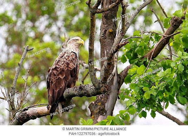 White-tailed Eagle (Haliaeetus albicilla), adult sitting in tree, Mecklenburg-Vorpommern, Germany | usage worldwide. - /Mecklenburg-Vorpommern/Germany