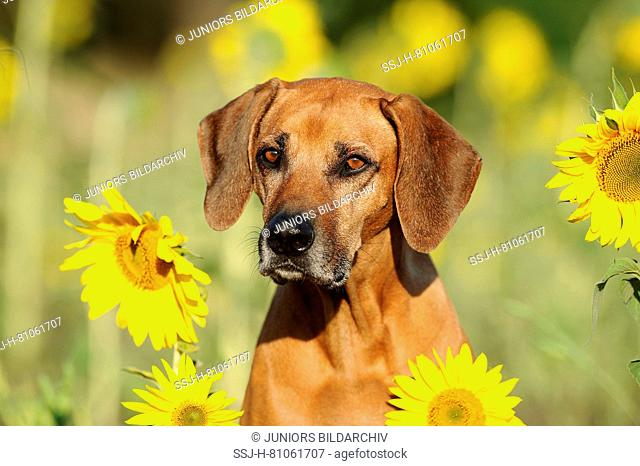 Rhodesian Ridgeback. Portrait of senior bitch with sunflowers. Germany