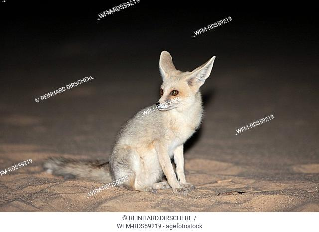 Desert Fox at Night, Vulpes Zerda, Libyan Desert, Egypt